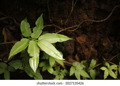 Leaf detail of lush wild plantlife on the Big Island of Hawaii.
