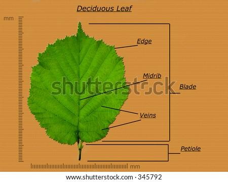 Leaf Diagram Stock Photo Edit Now 345792 Shutterstock
