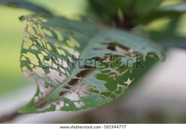 Leaf eaten by insect