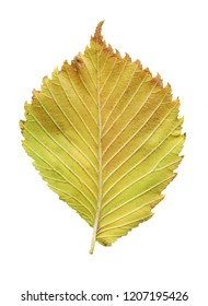 Leaf of elm tree. Elm tree autumn leaf isolated. Asymmetry slippery elm  leaf.