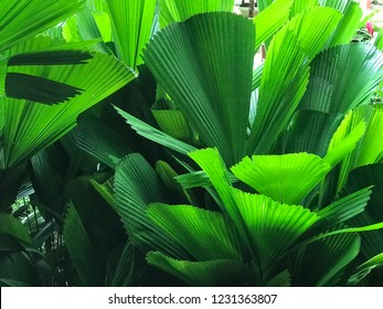 Leaf Of A Fan Palm.