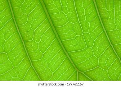 leaf fibers