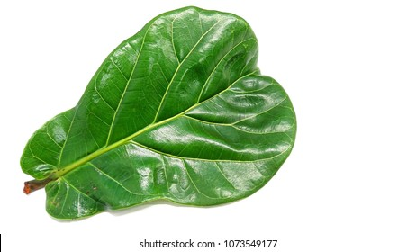 A leaf from fiddle-leaf fig tree (Ficus lyrata). Large, heavily veined and violin-shaped.