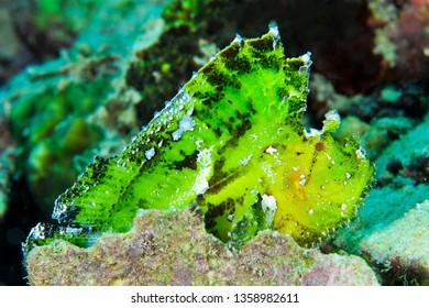 leaf fish in sipadan