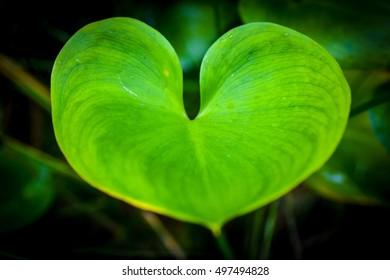 Leaf formed like a Heart