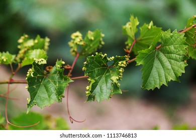 Leaf galls look like warts on grape leaves caused by a parasite or insects, mites living in vines. Does not affect the grapes. Grape disease of the phylloxera (Daktulosphaira vitifoliae) on leaves