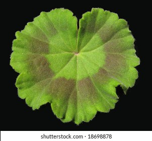 A leaf of geranium, green and brown, black background