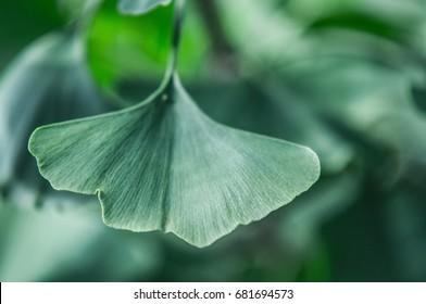a leaf of an gingko biloba tree