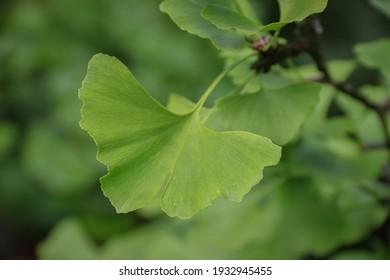 a leaf of ginkgo biloba in spring