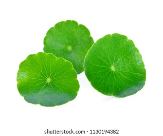 leaf of Gotu kola, Asiatic pennywort, asiatic leaf isolated on white background