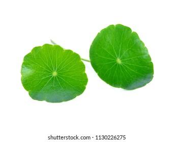 leaf of Gotu kola, Asiatic pennywort, asiatic leaf isolated on white background