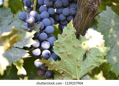 Leaf grapes phylloxera