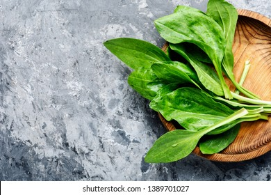 Leaf of greater plantain.Healing herbs.Copy space,space for text
