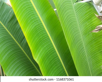 leaf green banana