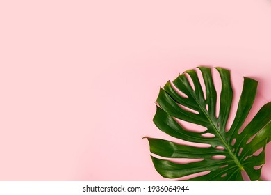 Leaf of green Monstera plant on pink background with copy space.