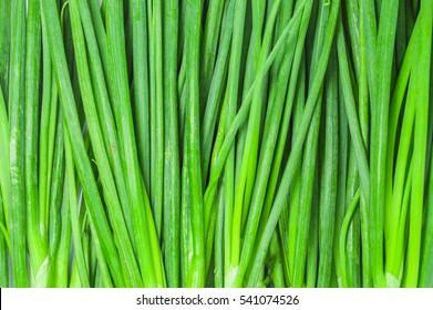 Leaf of Green Onion, Spring Onion, Scallion