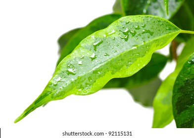 Leaf of a green plant isolated on white