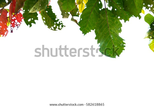 leaf green red isolate and white background