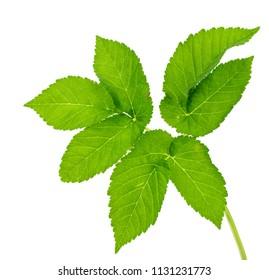 Leaf ground elder plants isolated on white background