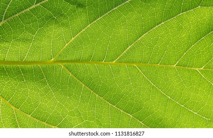 leaf have fiber background and texture in nature