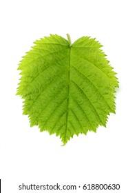 Leaf hazelnut close up isolated on a white background.