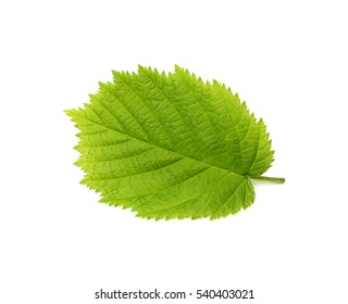 The leaf of hazelnut isolated on a white background.