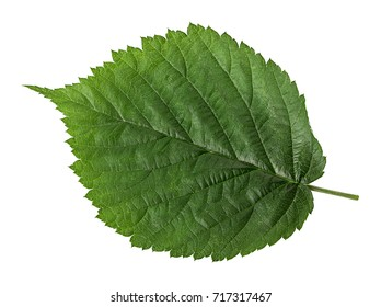 The leaf of hazelnut isolated on white background. Clipping Path. Full depth of field.