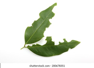 Leaf with holes, eaten by pests  on white background
