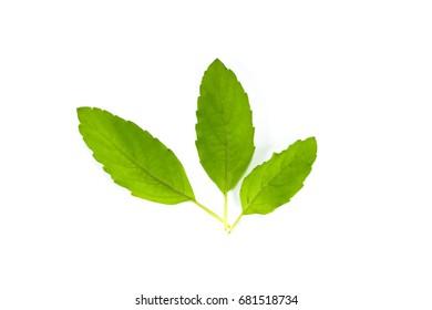 Leaf Holy basil Close up