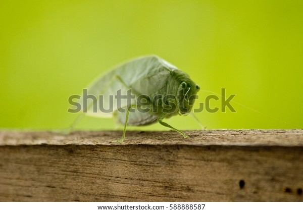 Leaf Insect in the Amazon River in Peru