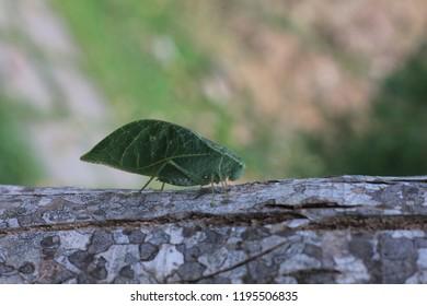Leaf Insect Katydid
