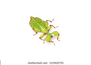 Leaf insect (Phyllium westwoodii) Green leaf insect or Walking leaves, rare and protected. Selective focus,isolated on white background.