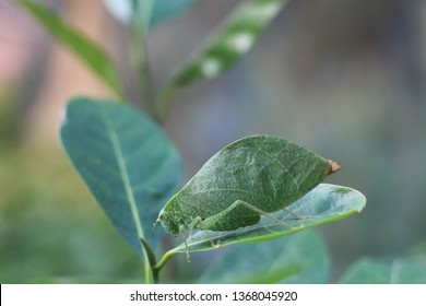 Leaf insects are camouflaged taking on the appearance of leaves. They do to mimic a real leaf so accurately that predators often are not able to distinguish them from real leaves.