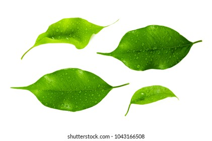 leaf isolated on white