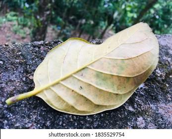 The Leaf of jackfruit tree