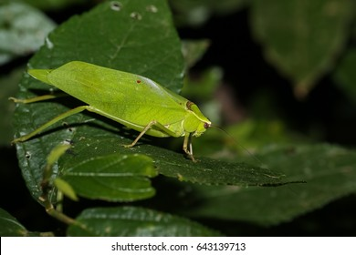 Leaf Katydid is sitting on a leaf in the rainforest