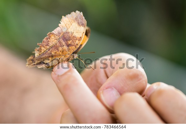A leaf like butterfly is standing on a human hand.