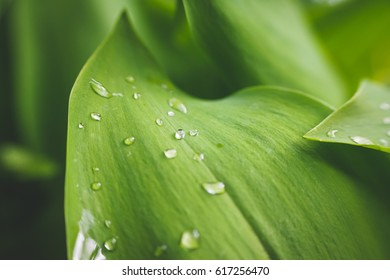 Leaf of lily of the valley and drops of water on it. Macro photography.
