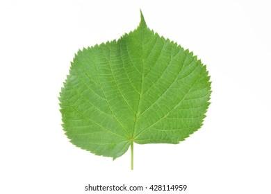 Leaf of a linden