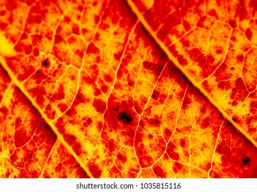 The leaf line of the red leaves,macro.
