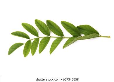 Leaf of Liquorice (Glycyrrhiza glabra). The root is alterative, antispasmodic, demulcent, diuretic, emollient, expectorant, laxative, moderately pectoral and tonic.
