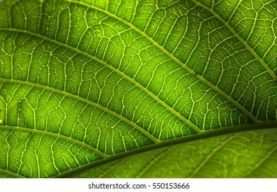 Leaf macro in San Marino, California
