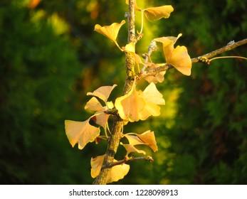 leaf of maidenhair tree, Ginkgo biloba,