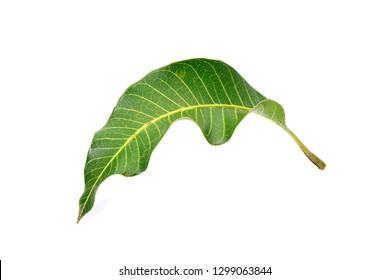 Leaf: Mango leaf Isolated on white background.