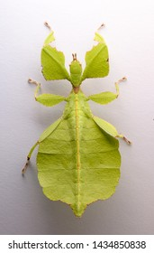 leaf mantis insect over white background