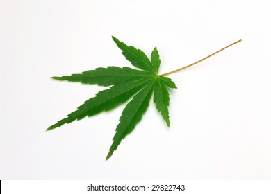 leaf of the maple