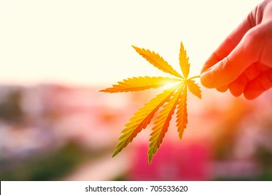 Leaf of marijuana in hand in setting sun on blurred background