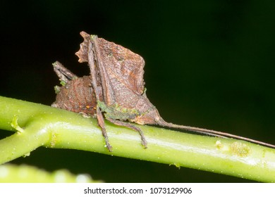 Leaf mimic katydid in the rainforest understory, Morona Santiago province, Ecuador