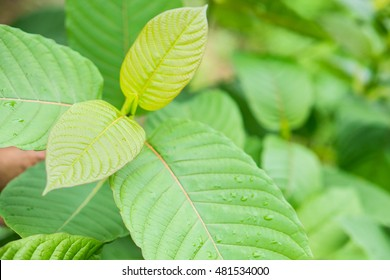 Leaf of mitragyna speciosa korth (kratom) a drug from plant to a category 5 in Thailand,