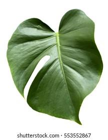 Leaf of Monstera plant.